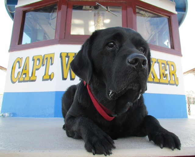 tog, a beautiful  black retriever is captain ricks faithful dog, and every fisherman's best friend